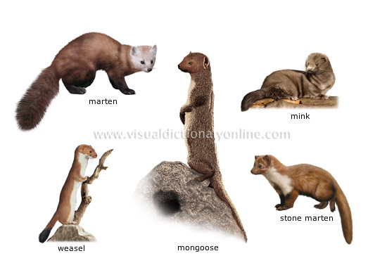 examples of carnivorous mammals [5]