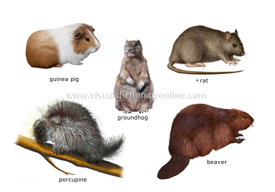examples of rodents [2]