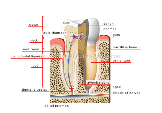 cross section of a molar [2]