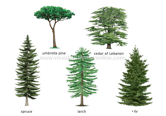 examples of conifers